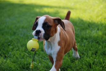Puppy Playing Fetch in the Spring